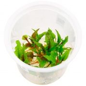Cryptocoryne wendtii green gekco T/C CUP