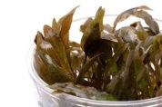 Cryptocoryne wendtii brown T/C CUP